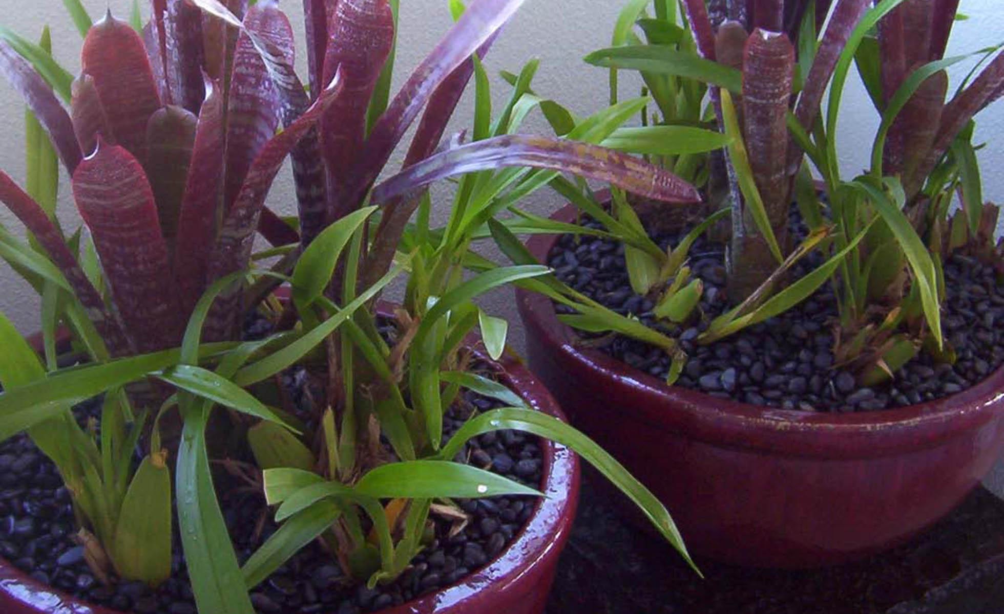 violet-plants